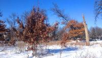 oak trees with dead leaves in winter