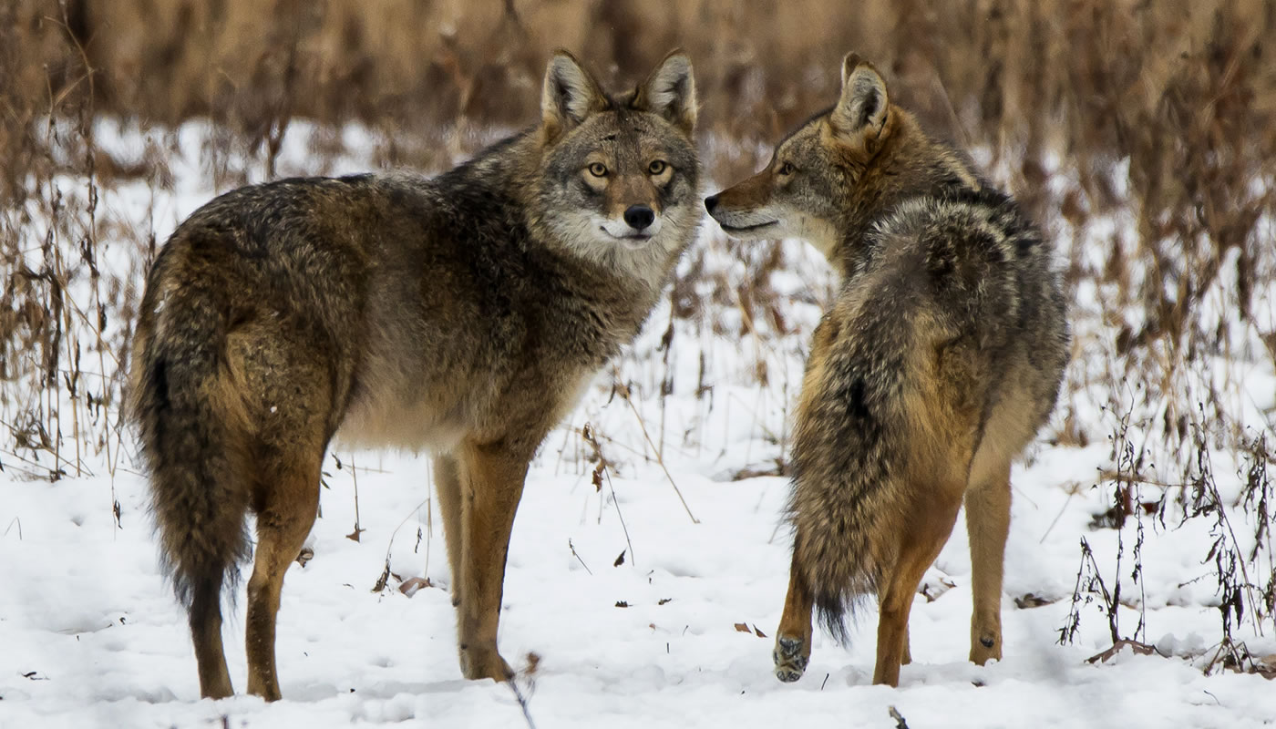 two coyotes at Yankee Woods