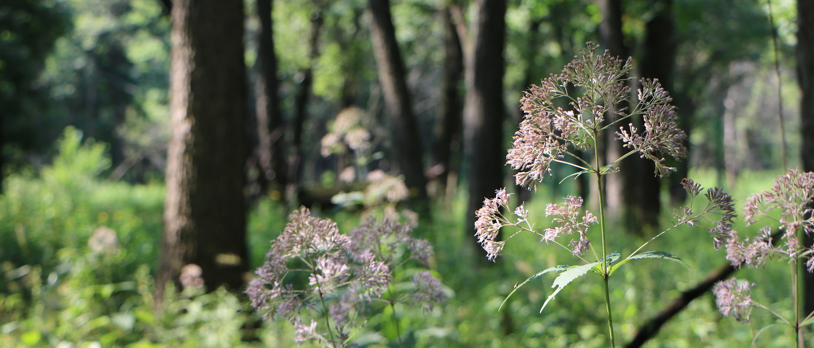 Joe pye weed in bloom at Cranberry Slough