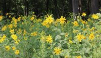 pale-leaved sunflowers at Harms Flatwoods Nature Preserve