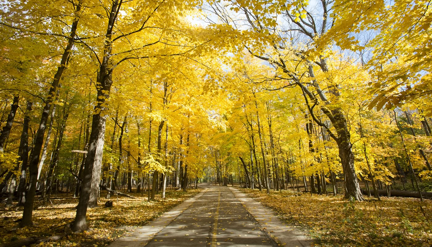 Yellow-leaved trees in autumn along the paved North Branch Trail in Miami Woods