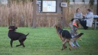 A boy throws a ball to two dogs at Two dogs by the pond at Beck Lake Off-Leash Dog Area