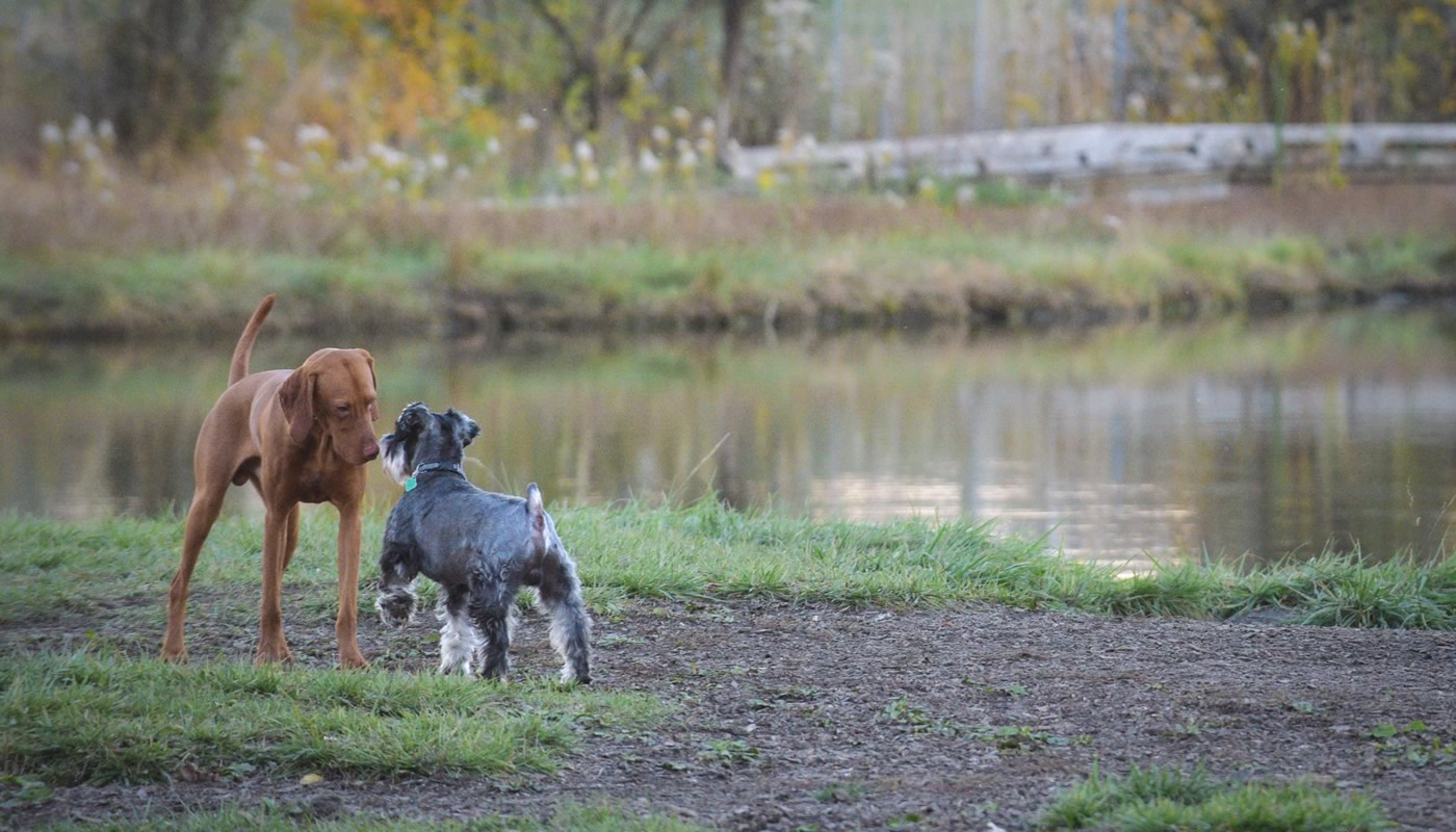 Two dogs by the pond at Beck Lake Off-Leash Dog Area
