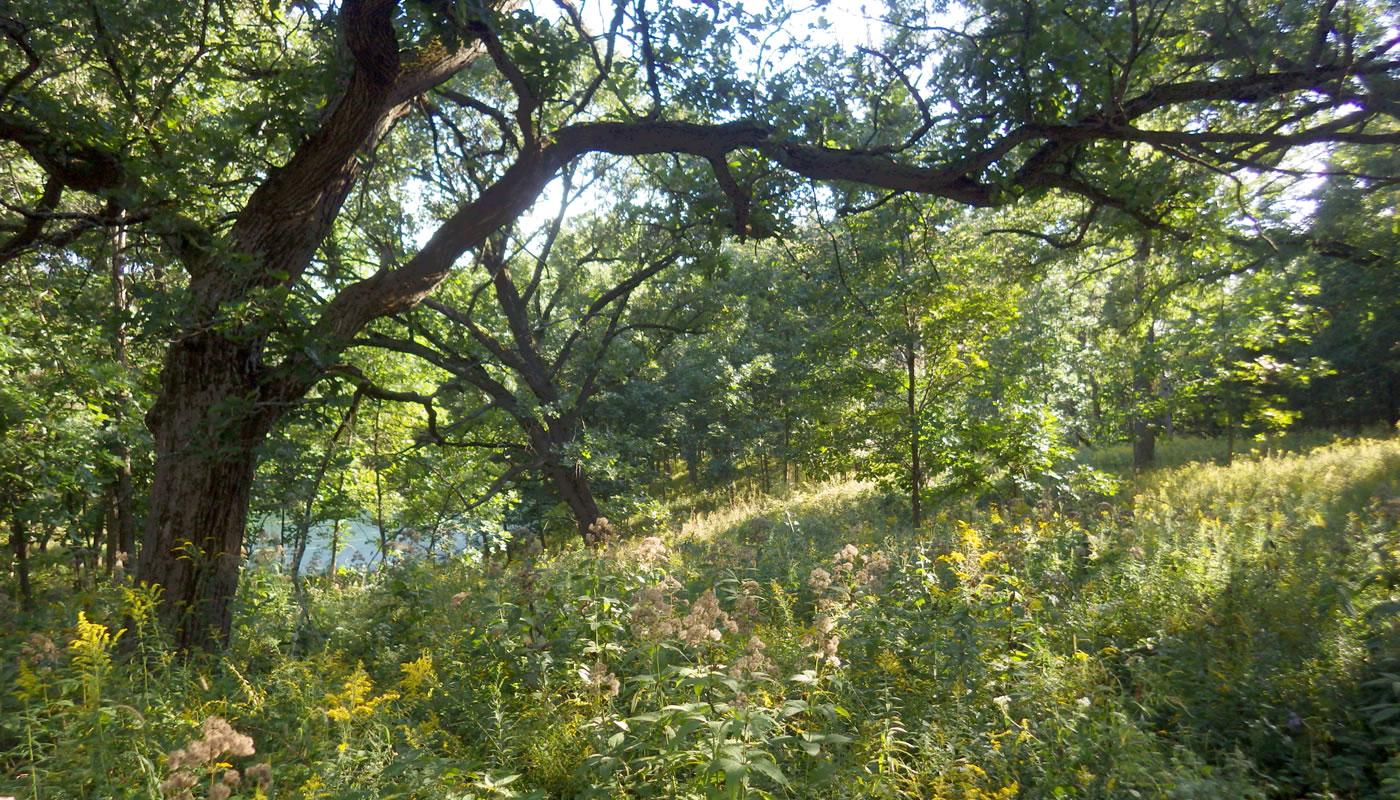 a bur oak savanna