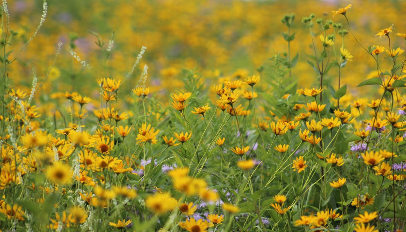 a closeup of prairie flowers at Deer Grove-East