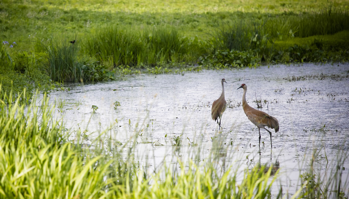 two sandhill cranes in a wetland at Deer Grove-East