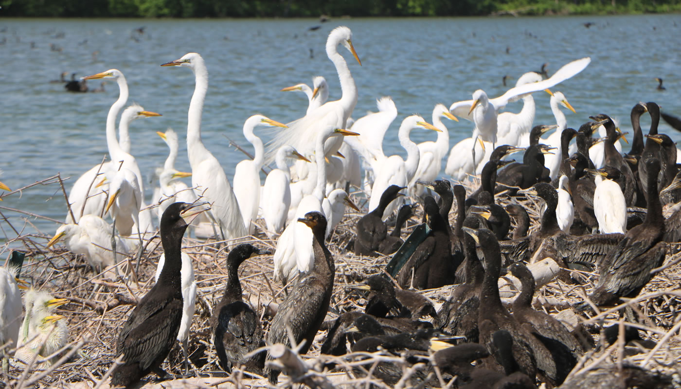 a group of egrets and cormorants