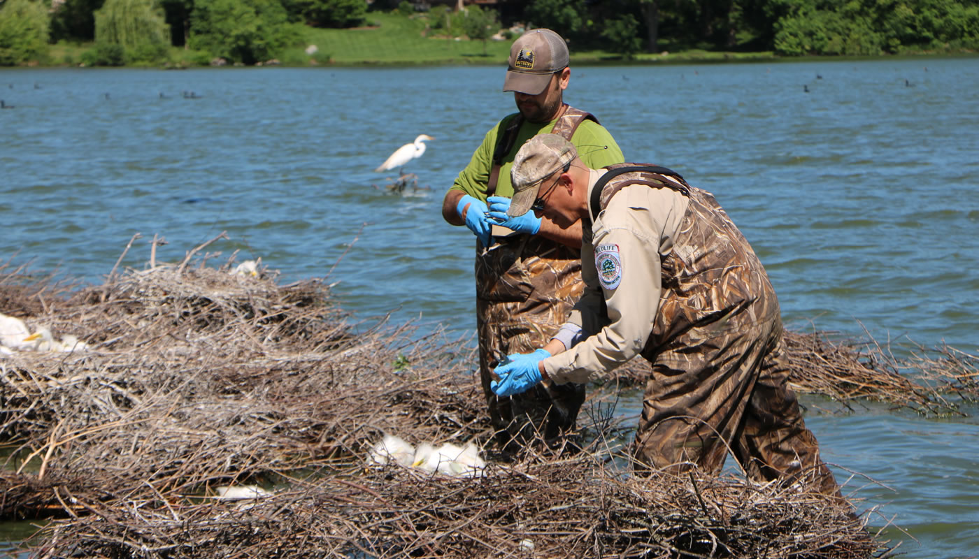 two wildlife biologists banding egrets at Baker's Lake