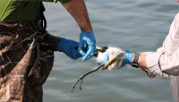 two wildlife biologists banding egrets at Baker's Lake