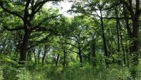 oak and hickory woodland at Dan Ryan Woods