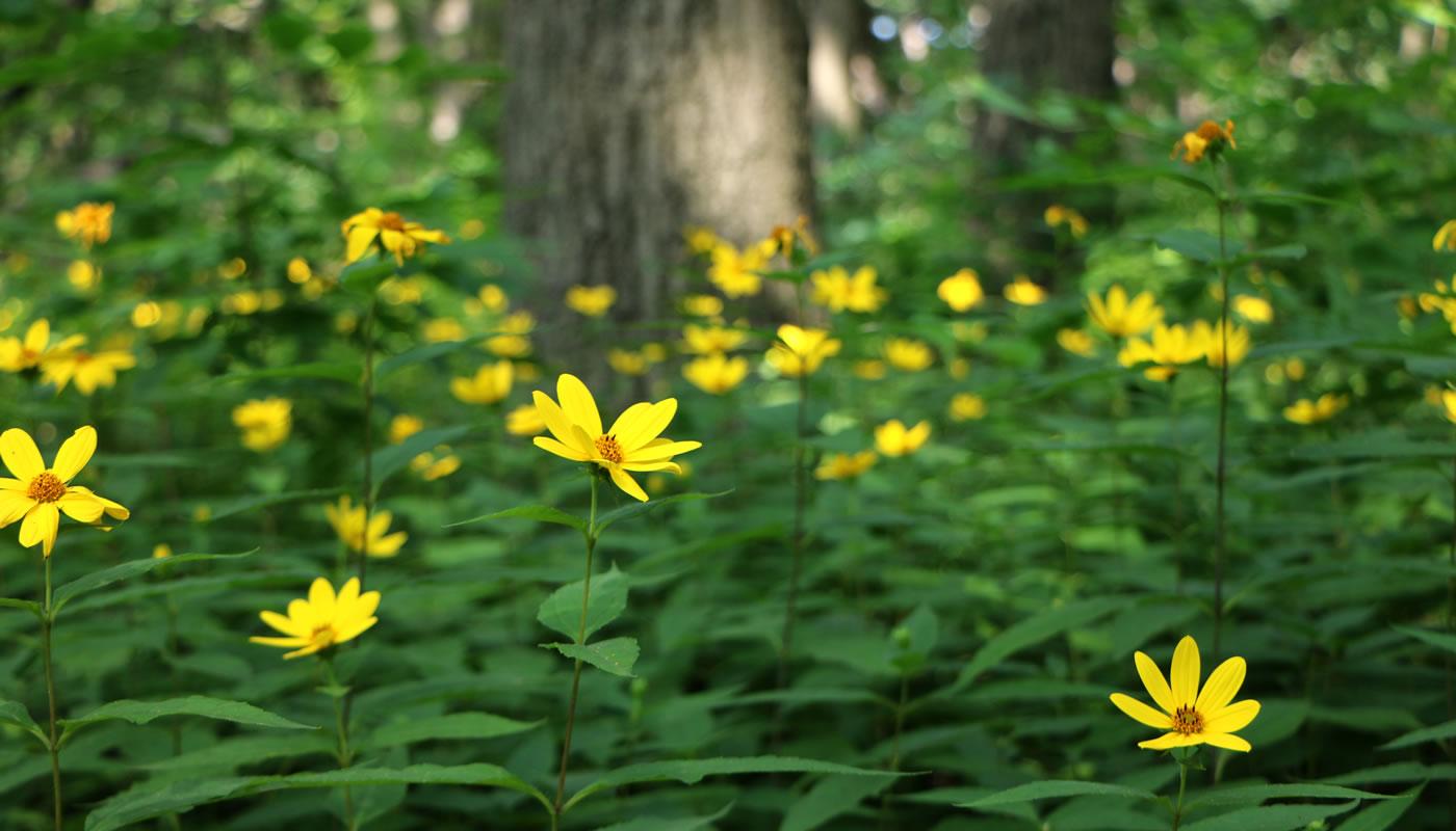 pale-leaved sunflowers at Dan Ryan Woods