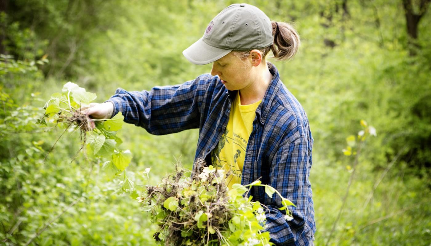 a volunteer removing garlic mustard,  invasive species, at McClaughrey Springs Woods