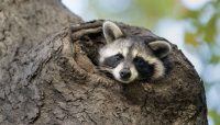 a baby raccoon peaking out of a tree at Miami Woods