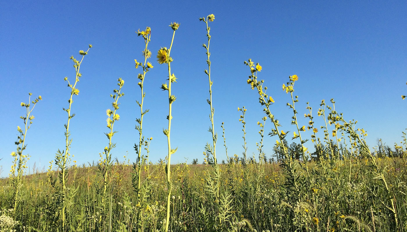 Orland Grassland with compass plants in the foreground.