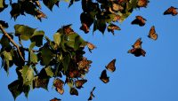 Monarch butterflies roosting in a cottonwood tree at Orland Grassland