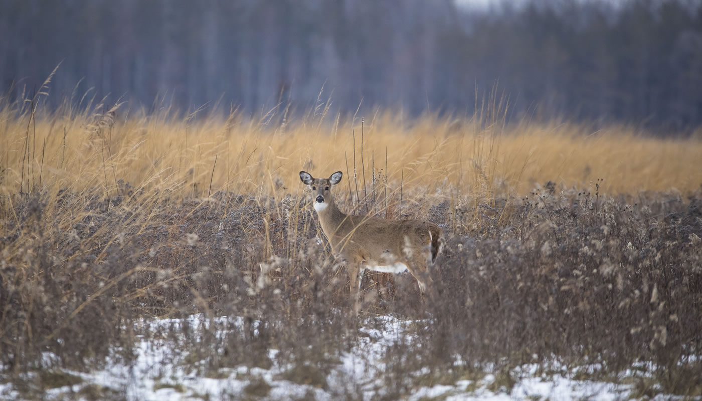 a white-tailed deer at Yankee Woods