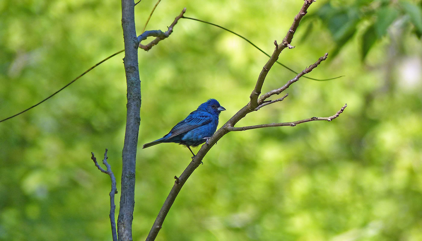 An indigo bunting at Blue Star Memorial Woods. Photo by Pat Weiner.