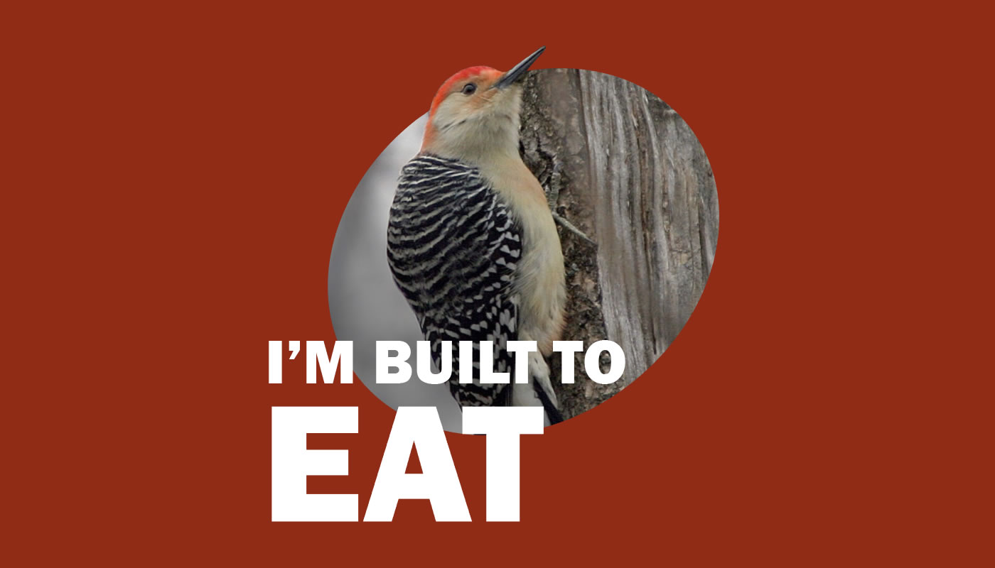 red-bellied woodpecker photo with words: I'm Built to Eat