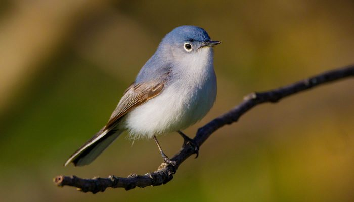 a close up of a Blue-gray gnatcatcher at Bunker Hill. Photo by Tom Lally.