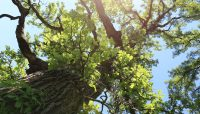 looking up at a large bur oak tree