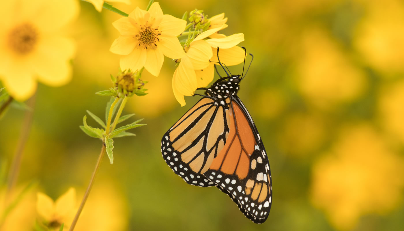Monarch butterfly at Cherry Hill Woods