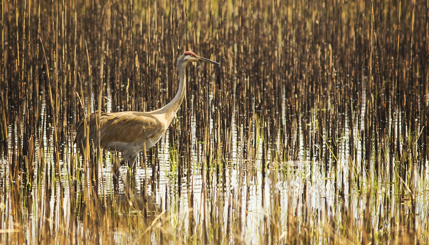A sandhill crane in a wetland at Crabtree Nature Center. Photo Kris DaPra.