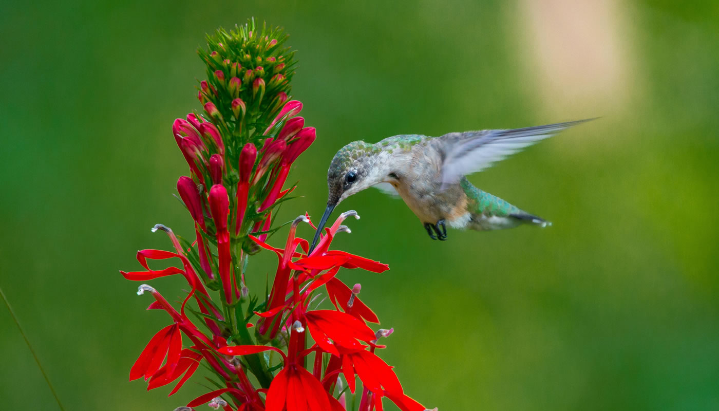 Ruby-throated hummingbird feeding on cardinal flower at McCormick Woods. Photo by Fidencio Marbella.