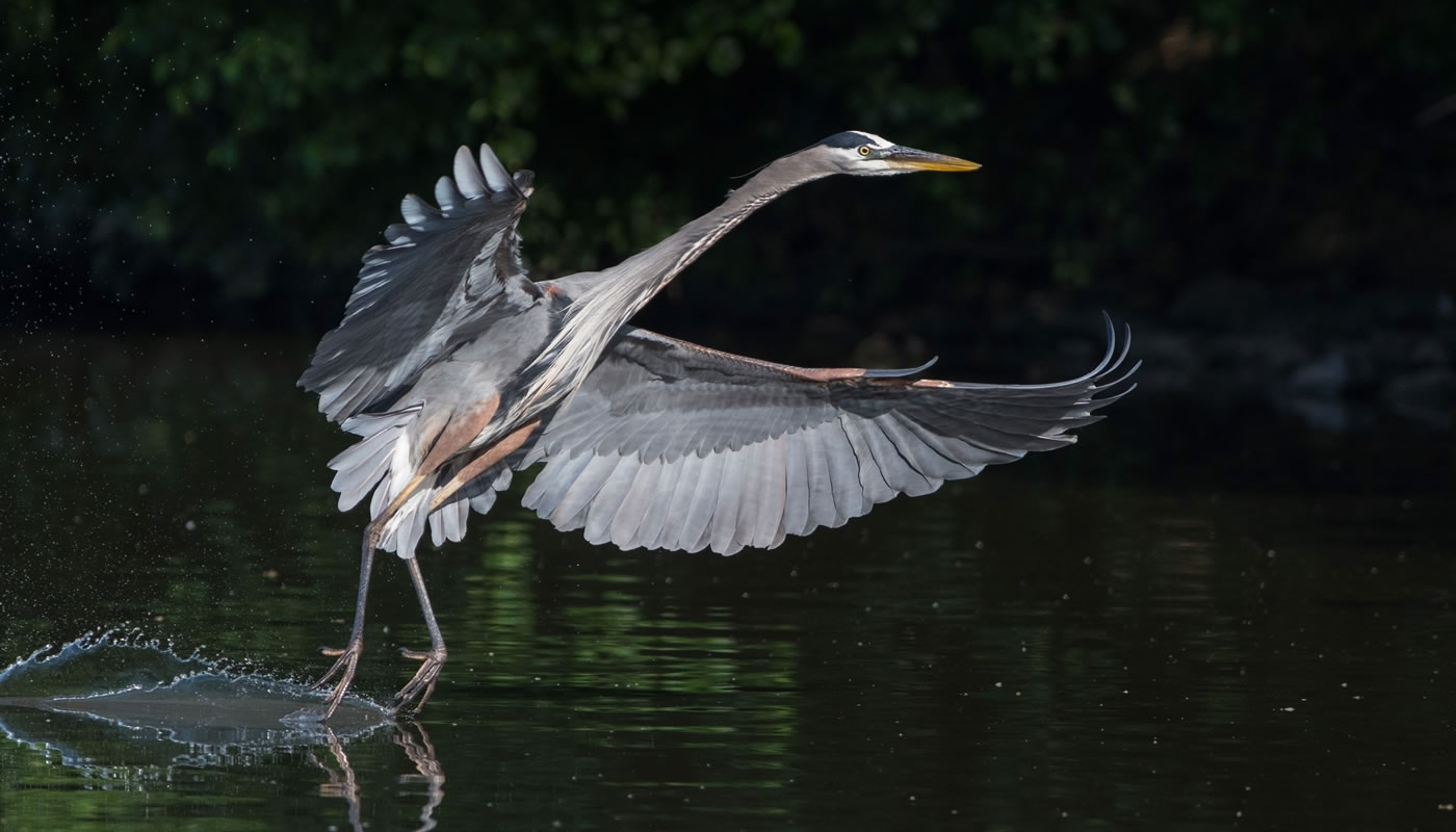 A great blue heron at Saganashkee Slough. Photo by Bill Grabinski.