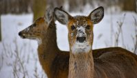 two white-tailed deer at Schiller Woods. Photo by Deep Shah.