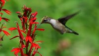 A ruby-throated humming bird feeding on cardinal flower at Somme. Photo by Lisa Culp.