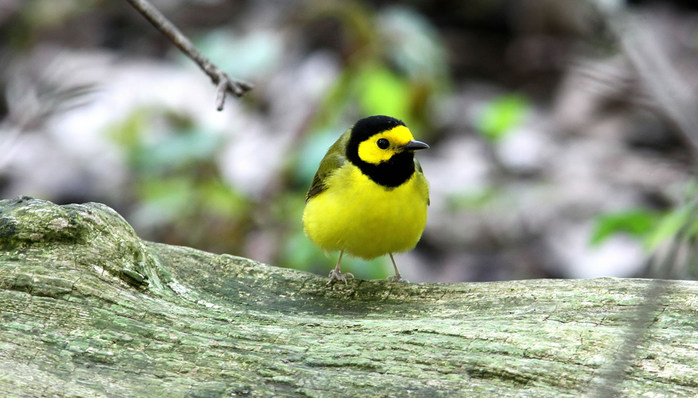 A hooded warbler at Swallow Cliff Woods. Photo by Jim Phillips.