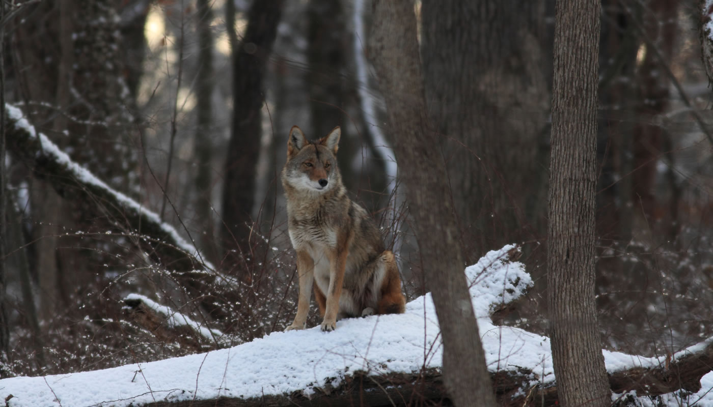 A coyote at Sweet Woods. Photo by Mark Susoreny.