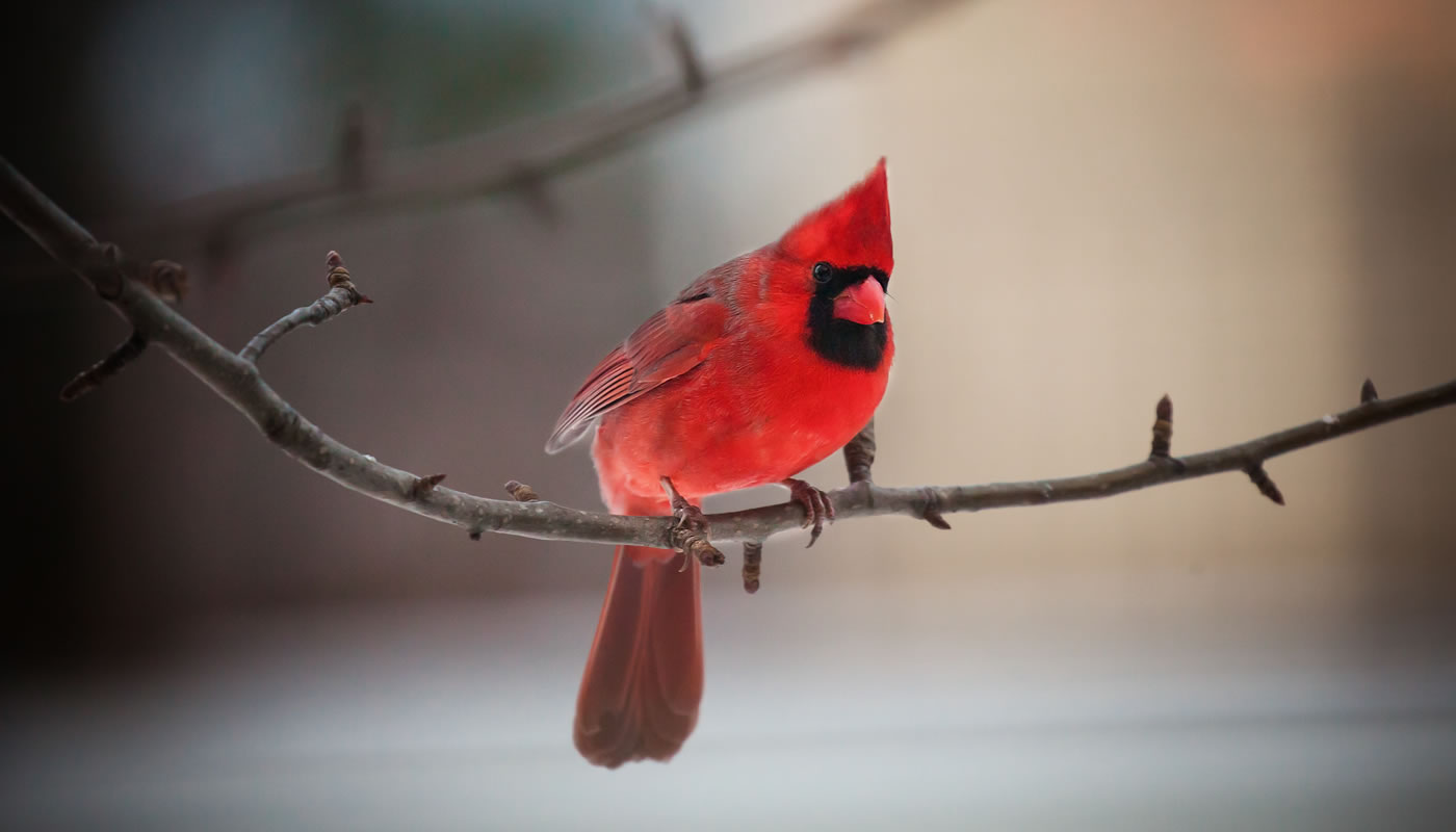 Northern cardinal at Thatcher Woods. Photo by Tommy DiGiovoanni.