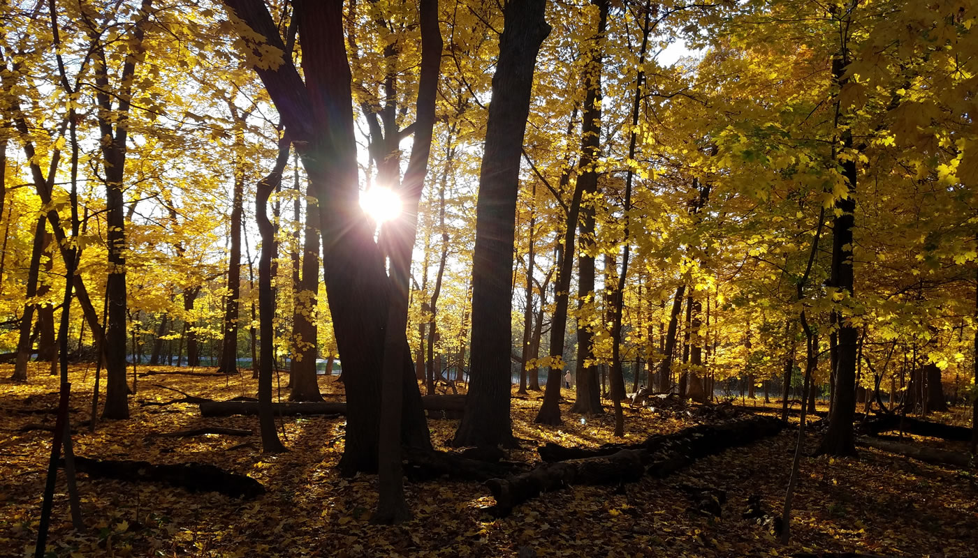 Open woodland with yellow leaves and sun going down. Photo by Irene Flebbe.