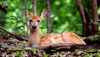 a white-tailed fawn resting at Caldwell Woods.