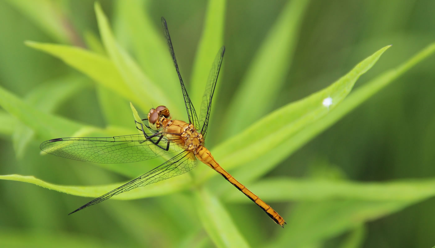 A female ruby meadowhawk dragonfly at Cap Sauers Holding Nature Preserve