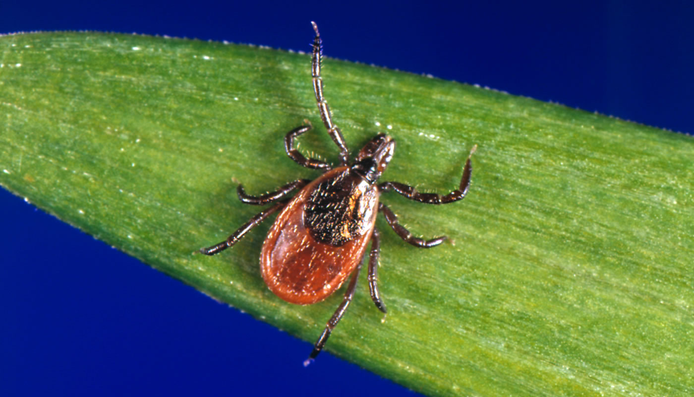 Magnified photo of a deer tick — also called a black-legged tick or bear tick (Scientific name: Ixodes scapularis).