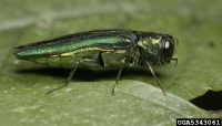 Emerald ash borer adult. Photo credit: David Cappaert, Michigan State University, Bugwood.org.