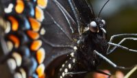 extreme close up of a black swallowtail butterfly at Crabtree Nature Center. Photo by Edward Boe.