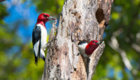 two red-headed woodpeckers in a dead tree at Little Red Schoolhouse Nature Center. Photo by Joe Occhiuzzo.