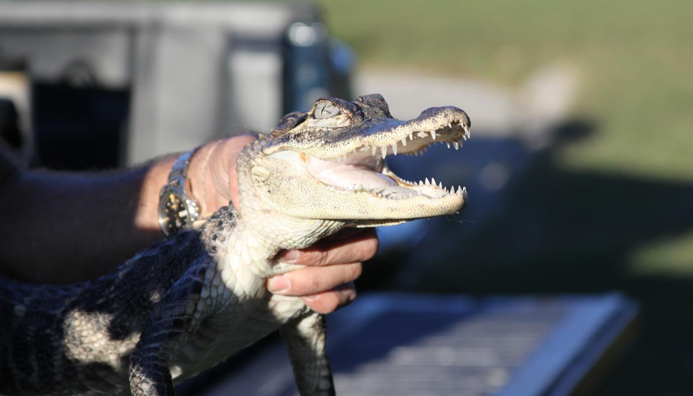 an american alligator found at Saganashkee Slough in 2010.