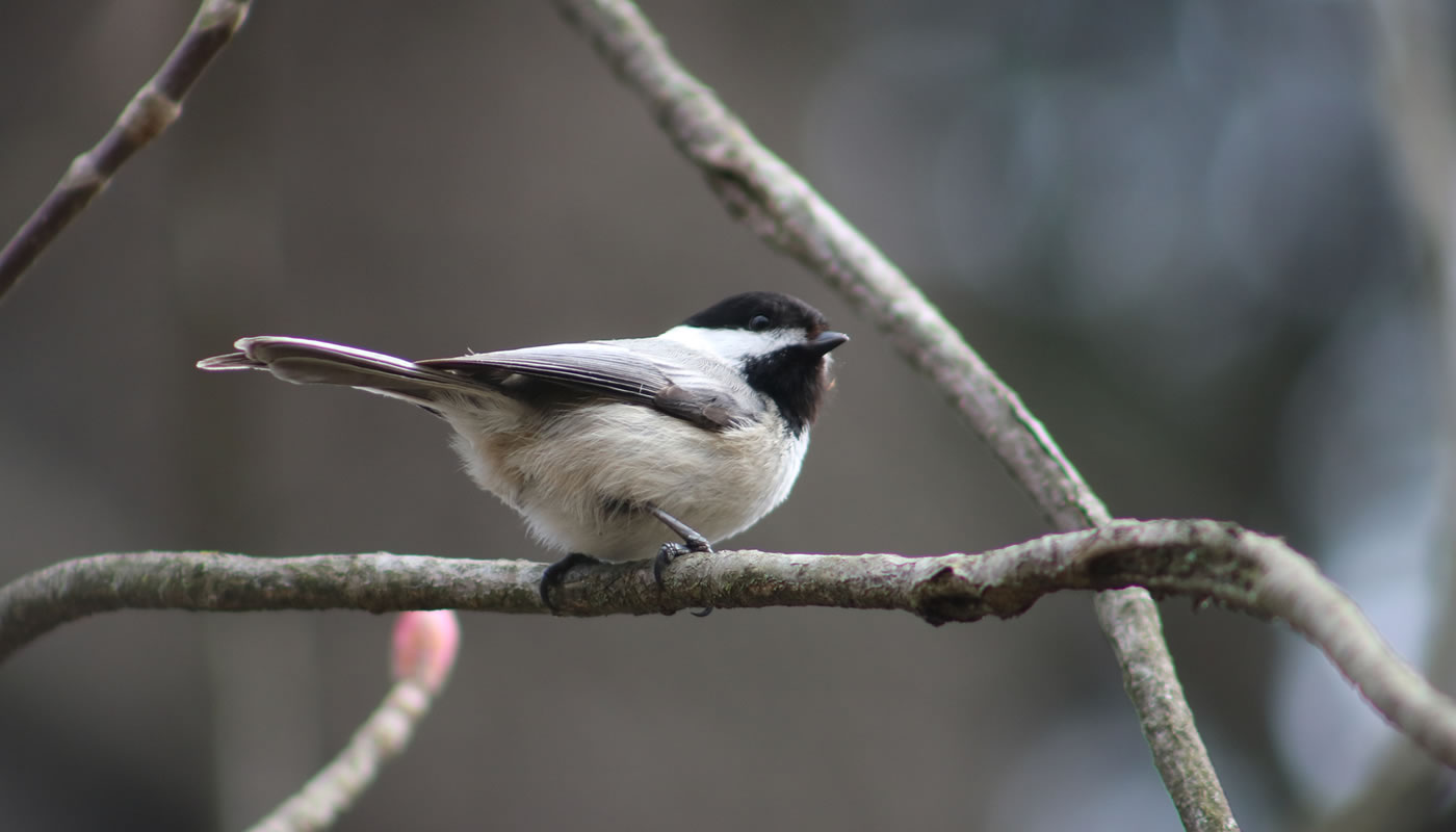 A black-capped chickadee at Linne Woods.