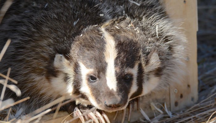 Close up of a badger. Photo by Dr. Jeff Nelson.