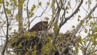 bald eagle in a nest at Tampier Slough