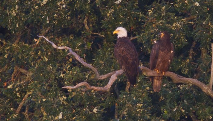 an adult bald eagle and an immature bald eagle on a branch at Tampier Slough