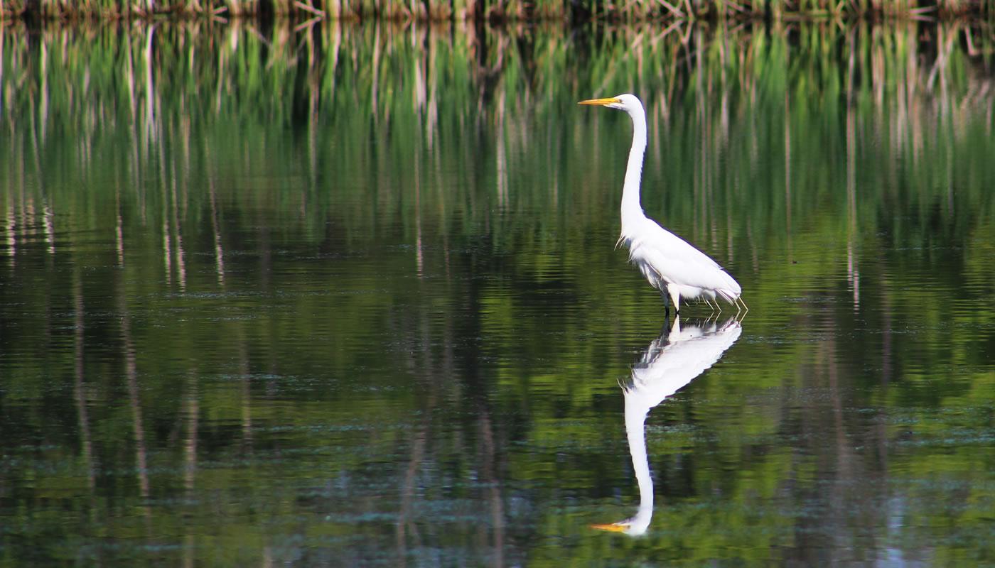 A great egret at Crabteer Nature Center.