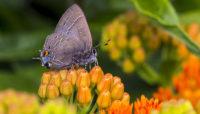 Striped hairstreak butterfly on butterfly weed. Photo by Kris DaPra.
