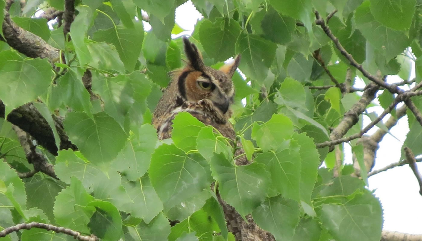 great horned owl in a cottonwood tree