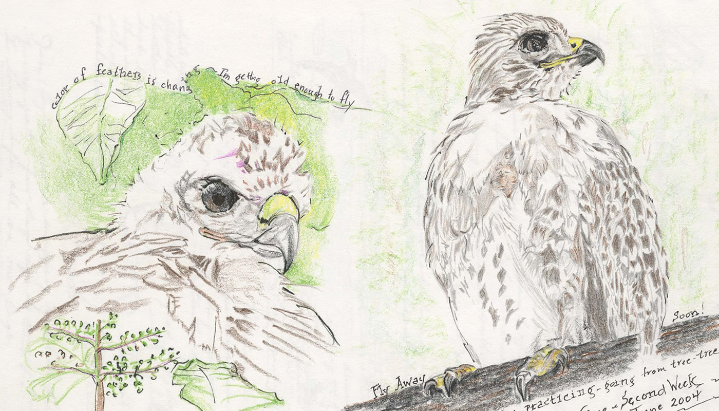 nature journal page with an illustrated hawk