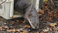 an otter being released from an animal carrier as part of research by the Forest Preserves of Cook County